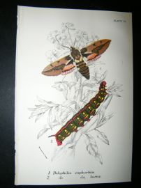 Allen & Kirby 1890's Antique Moth Print. Dilephila Eupharbix